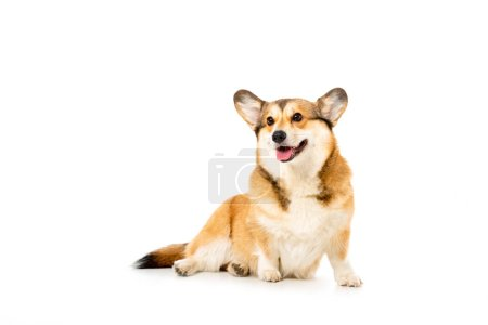 cute welsh corgi pembroke isolated on white background