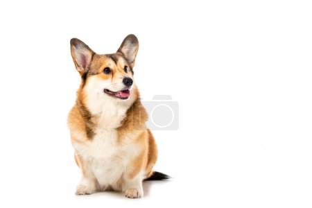 cute welsh corgi pembroke looking away isolated on white background