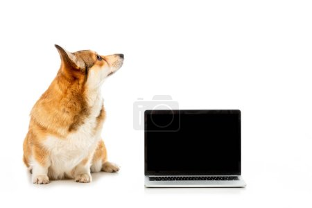 welsh corgi pembroke looking away and sitting near laptop with blank screen isolated on white background