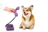 partial view of man giving telephone tube to adorable corgi isolated on white background