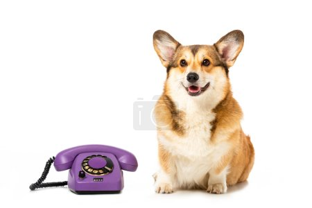 welsh corgi pembroke sitting near telephone isolated on white background