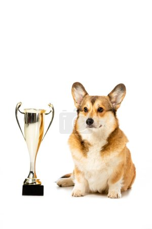 cute corgi sitting near golden trophy cup isolated on white background