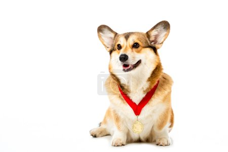 adorable welsh corgi pembroke with golden medal isolated on white background