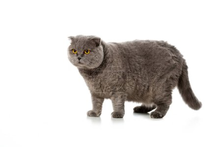 grey british shorthair cat standing isolated on white background