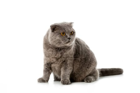 Photo pour Photo Studio de gris british shorthair chat regardant loin isolé sur fond blanc - image libre de droit