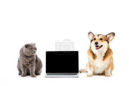studio shot of grey british shorthair cat and welsh corgi pembroke sitting near laptop with blank sreen isolated on white background