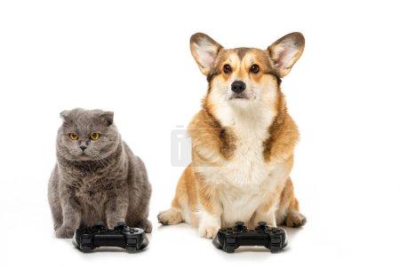Photo pour Mignon corgi et britannique shorthair chat assis avec joysticks pour jeu vidéo isolé sur fond blanc - image libre de droit