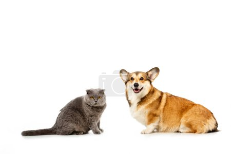 adorable grey british shorthair cat and welsh corgi pembroke sitting and looking at camera isolated on white background