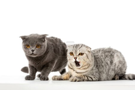 striped british shorthair cat yawning near grey british shorthair cat isolated on white background