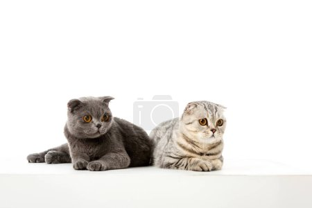 studio shot of adorable british shorthair cats laying isolated on white background