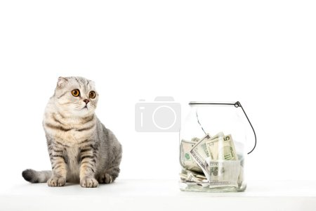striped british shorthair cat near jar with cash money isolated on white background