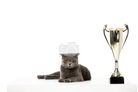 adorable grey british shorthair cat laying near golden trophy cup isolated on white background