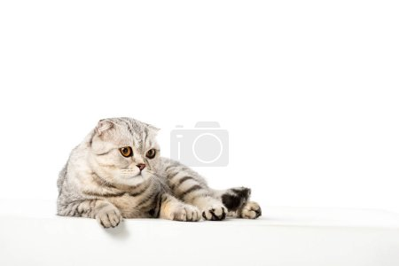 studio shot of adorable striped british shorthair cat isolated on white background