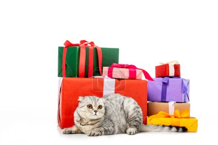 adorable striped british shorthair cat near pile of gift boxes isolated on white background