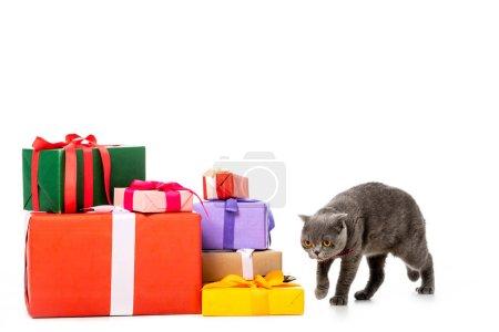 grey british shorthair cat walking near pile of gift boxes isolated on white background