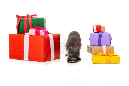 adorable grey british shorthair eating from plate between gift boxes isolated on white background
