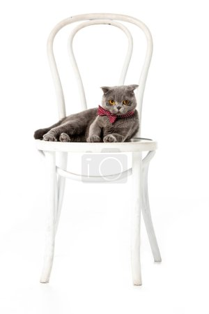 grey british shorthair cat in bow tie sitting on chair isolated on white background