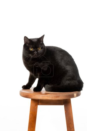 black british shorthair cat sitting on wooden chair isolated on white background