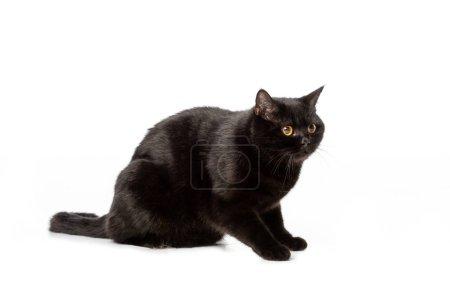 Photo pour Photo de Studio de noir british shorthair chat isolé sur fond blanc - image libre de droit