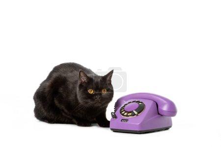 adorable black british shorthair cat sitting near telephone isolated on white background