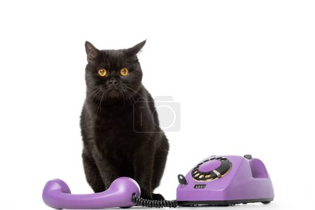 cute black british shorthair cat sitting near telephone and looking at camera isolated on white background