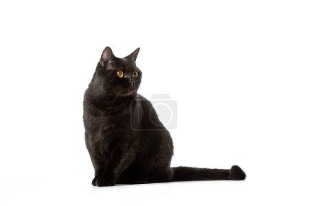 Photo pour À la recherche de chat mignon noir shorthair britannique décédé isolé sur fond blanc - image libre de droit
