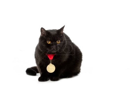 studio shot of black british shorthair cat with golden medal isolated on white background