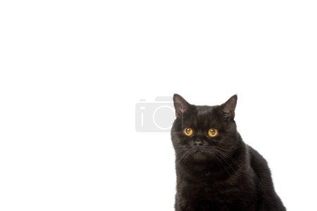 black british shorthair cat isolated on white background