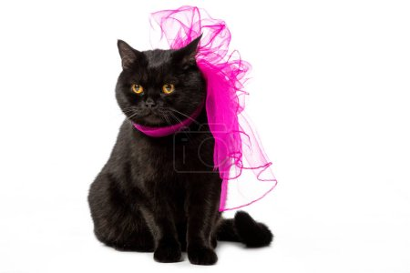 studio shot of black british shorthair cat in pink festive bow isolated on white background