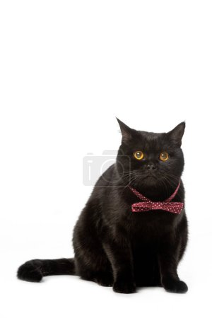 studio shot of black british shorthair cat in bow tie isolated on white background