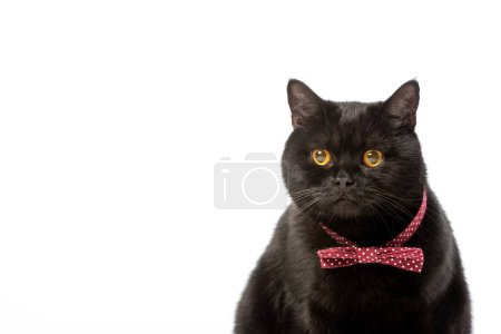 portrait of cute black british shorthair cat in bow tie isolated on white background
