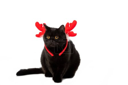 studio shot of black british shorthair cat in christmas horns isolated on white background