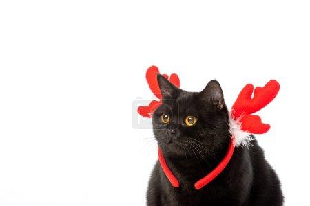 Photo pour Chat noir british shorthair dans les trompes de Noël isolé sur fond blanc - image libre de droit