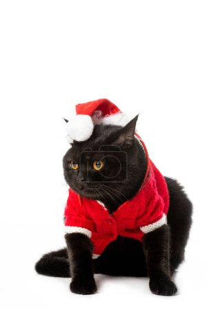adorable black british shorthair cat in christmas vest and hat looking away isolated on white background