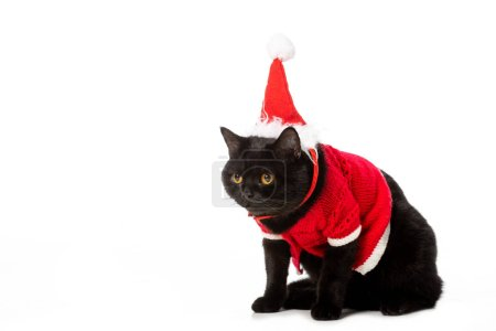 studio shot of black british shorthair cat in christmas vest and hat isolated on white background