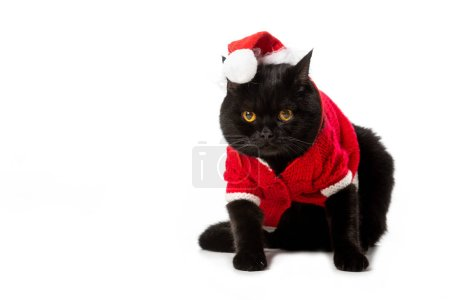 cute black british shorthair cat in christmas vest and hat isolated on white background