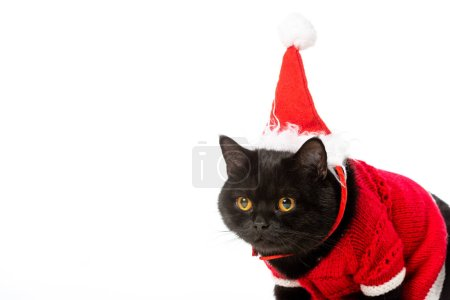 portrait of cute black british shorthair cat in christmas vest and hat isolated on white background
