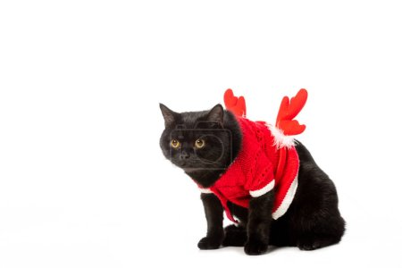 black british shorthair cat in christmas vest and horns isolated on white background