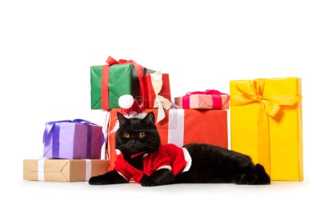adorable black british shorthair cat in christmas vest and hat near gift boxes isolated on white background