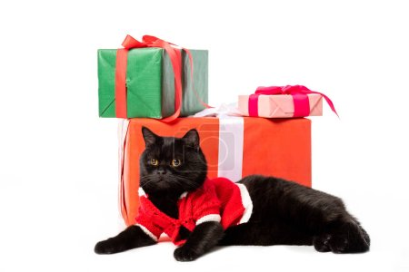 black british shorthair cat in christmas vest looking away near gift boxes isolated on white background