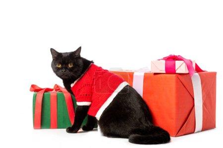studio shot of black british shorthair cat in christmas vest near gift boxes isolated on white background