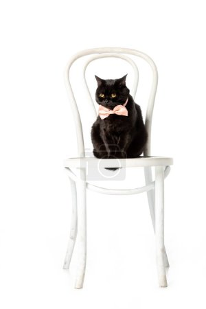 studio shot of black british shorthair cat in pink bow tie sitting on chair isolated on white background