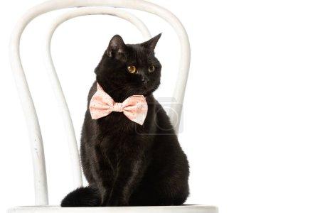 Photo pour Mignon chat short britannique noir en noeud papillon rose assis sur une chaise isolée sur fond blanc - image libre de droit