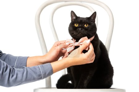woman adjusting bow tie on black british shorthair cat on chair isolated on white background