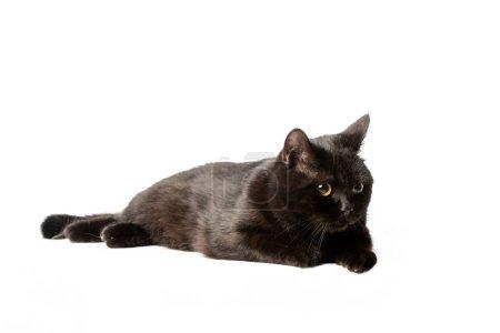 Photo pour Prise de vue Studio du chat noir shorthair britannique pose isolé sur fond blanc - image libre de droit