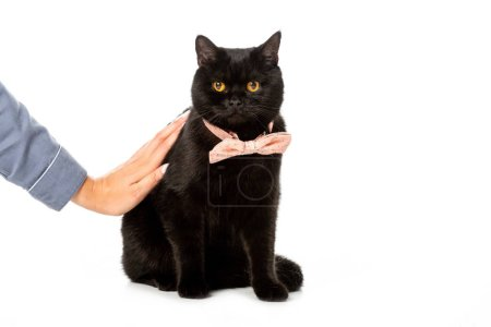 partial view of woman touching black british shorthair cat in pink bow tie isolated on white background