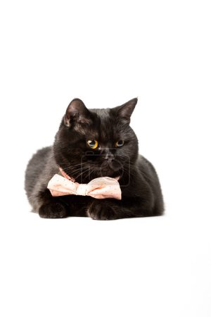 funny black british shorthair cat in pink bow tie isolated on white background