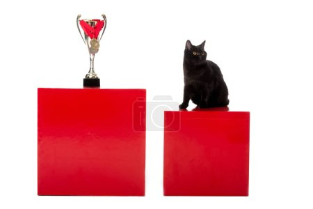 black british shorthair cat sitting on red cube near golden trophy cup wrapped by medals isolated on white background