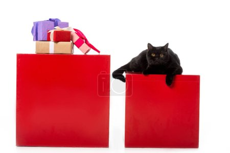 cute black british shorthair cat laying on red cube near gift boxes isolated on white background