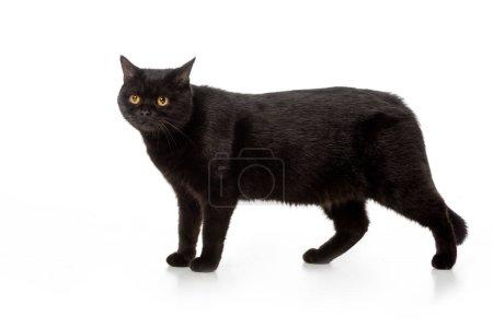 Photo pour Commandes de chat adorable shorthair britannique noir isolé sur fond blanc - image libre de droit